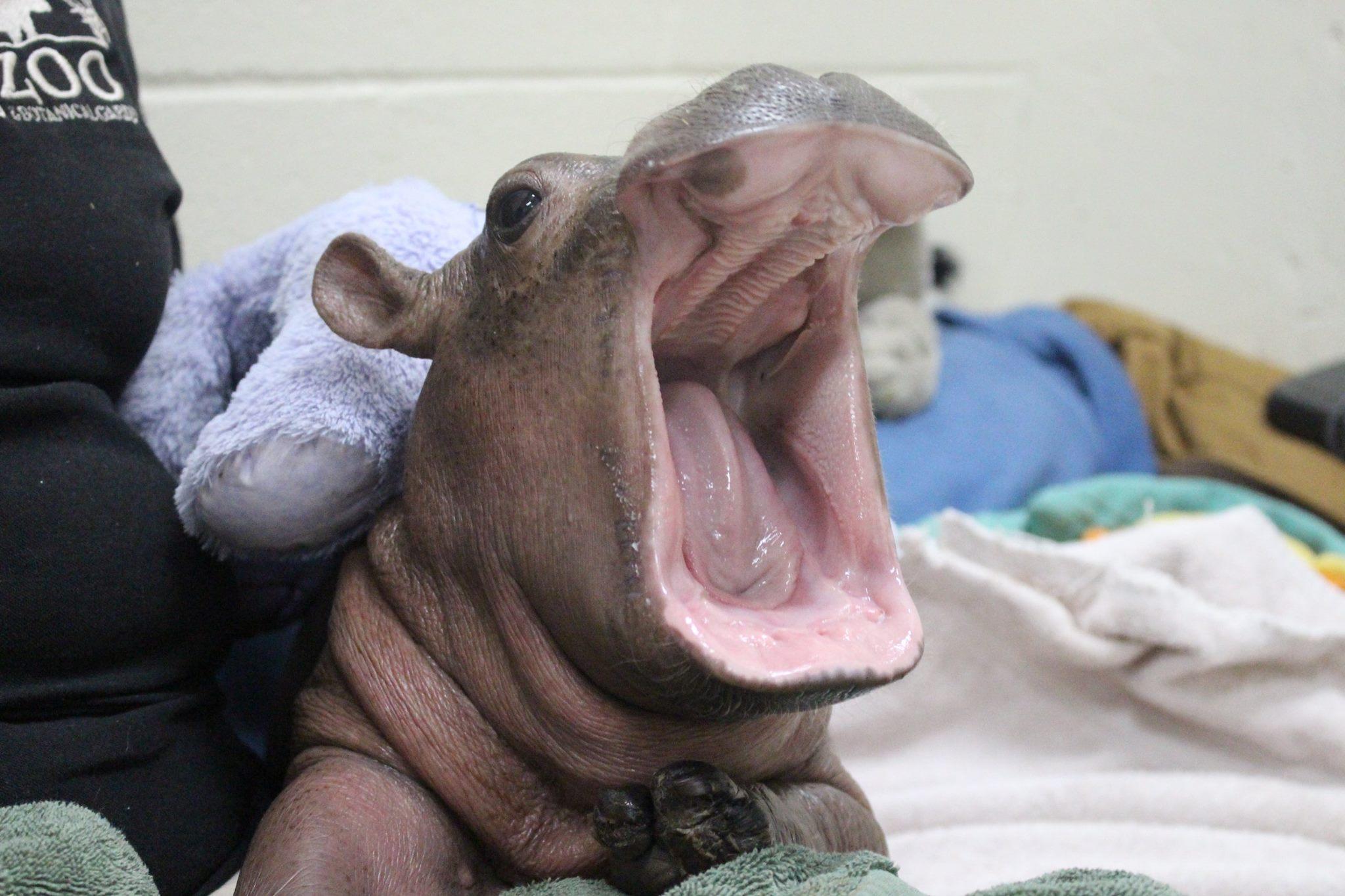 Hippo porn